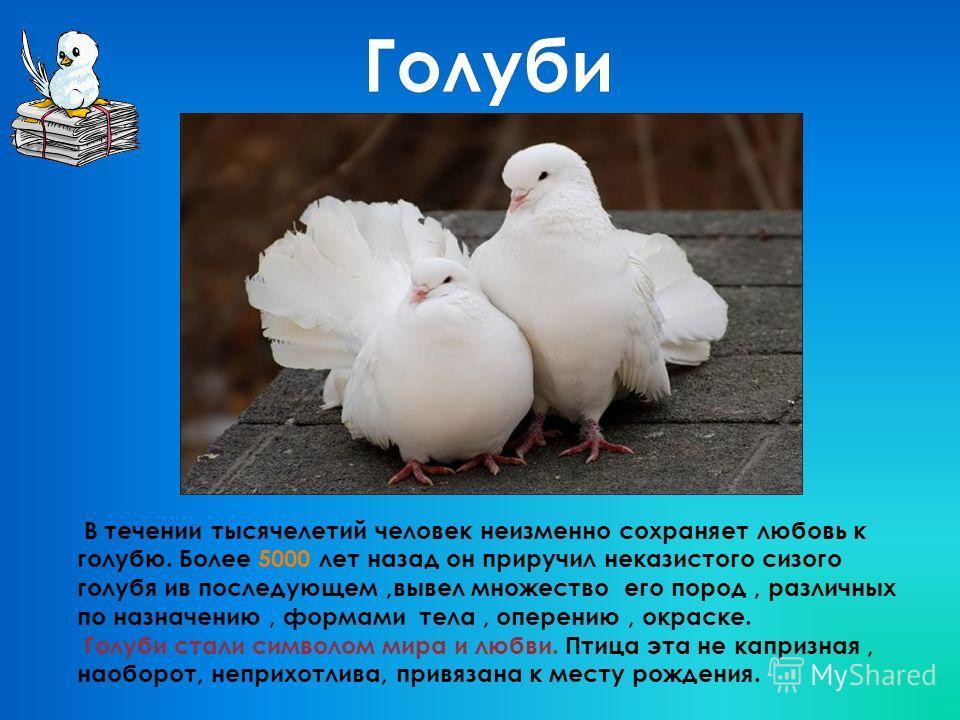 В течении тысячелетий человек неизменно сохраняет любовь к голубю. Более 5000 лет назад он приручил неказистого сизого голубя ив последующем,вывел множество его пород, различных по назначению, формами тела, оперению, окраске. Голуби стали символом ми