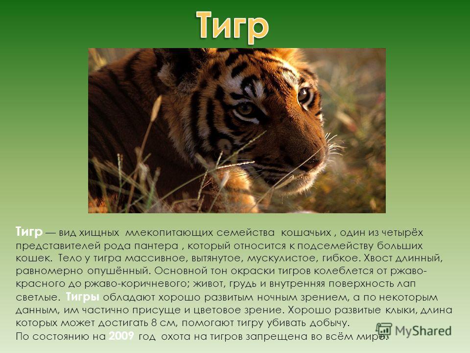Тигр вид хищных млекопитающих семейства кошачьих, один из четырёх представителей рода пантера, который относится к подсемейству больших кошек. Тело у тигра массивное, вытянутое, мускулистое, гибкое. Хвост длинный, равномерно опушённый. Основной тон о