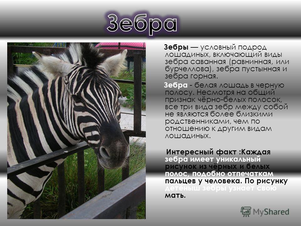 Зебры условный подрод лошадиных, включающий виды зебра саванная (равнинная, или бурчеллова), зебра пустынная и зебра горная. Зебра - белая лошадь в черную полосу. Несмотря на общий признак чёрно-белых полосок, все три вида зебр между собой не являютс