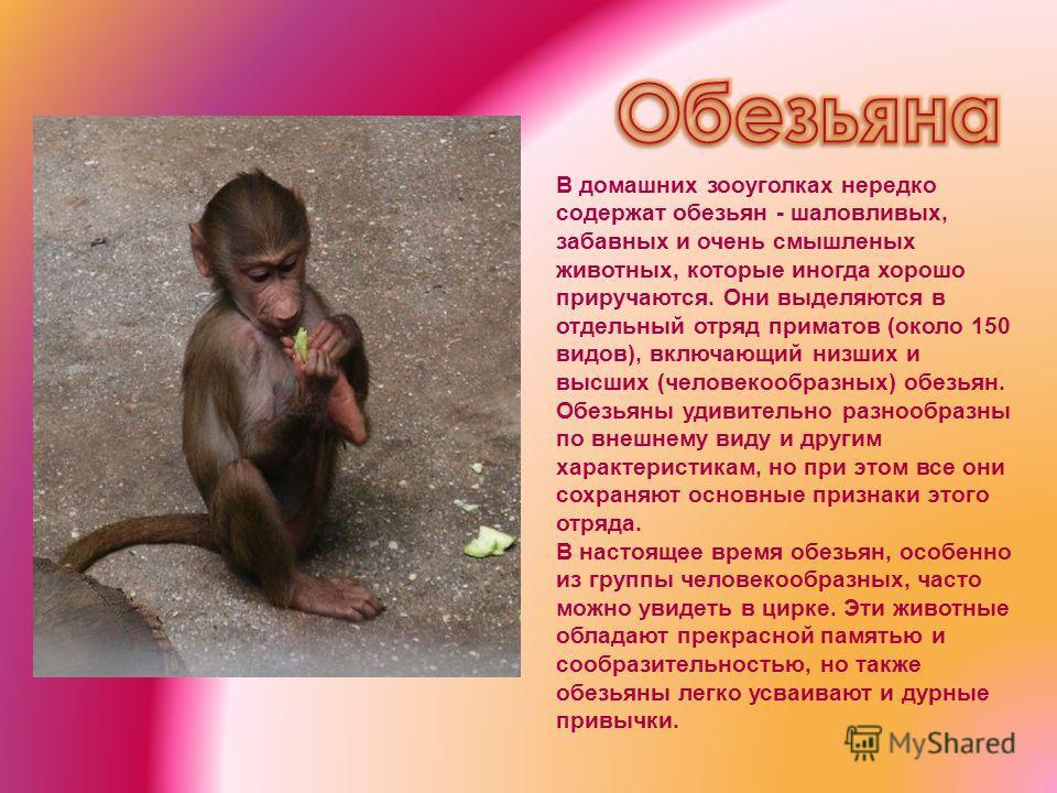 В домашних зооуголках нередко содержат обезьян - шаловливых, забавных и очень смышленых животных, которые иногда хорошо приручаются. Они выделяются в отдельный отряд приматов (около 150 видов), включающий низших и высших (человекообразных) обезьян. О