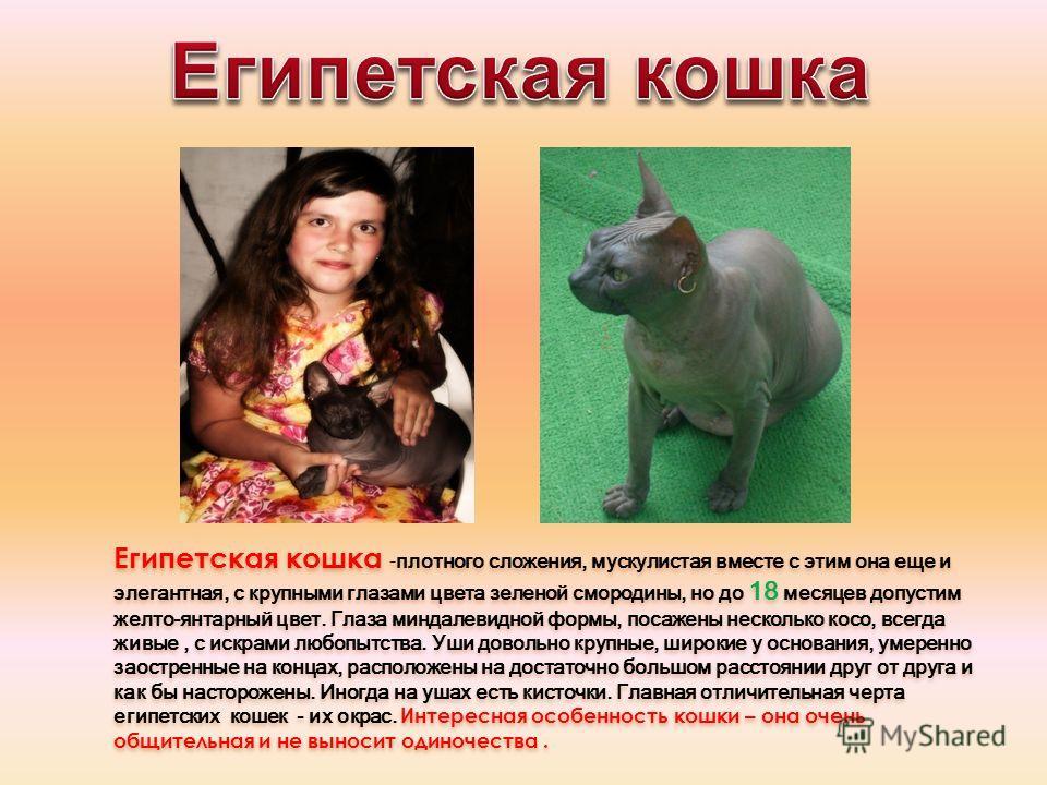 Египетская кошка - плотного сложения, мускулистая вместе с этим она еще и элегантная, с крупными глазами цвета зеленой смородины, но до 18 месяцев допустим желто-янтарный цвет. Глаза миндалевидной формы, посажены несколько косо, всегда живые, с искра