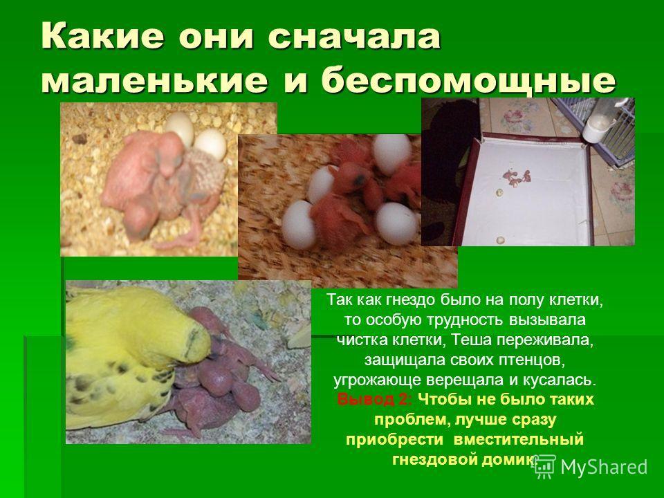 Какие они сначала маленькие и беспомощные Так как гнездо было на полу клетки, то особую трудность вызывала чистка клетки, Теша переживала, защищала своих птенцов, угрожающе верещала и кусалась. Вывод 2: Чтобы не было таких проблем, лучше сразу приобр