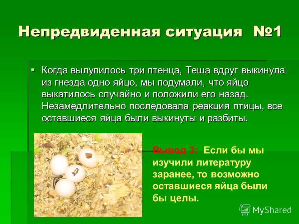 Непредвиденная ситуация 1 Когда вылупилось три птенца, Теша вдруг выкинула из гнезда одно яйцо, мы подумали, что яйцо выкатилось случайно и положили его назад. Незамедлительно последовала реакция птицы, все оставшиеся яйца были выкинуты и разбиты. Ко