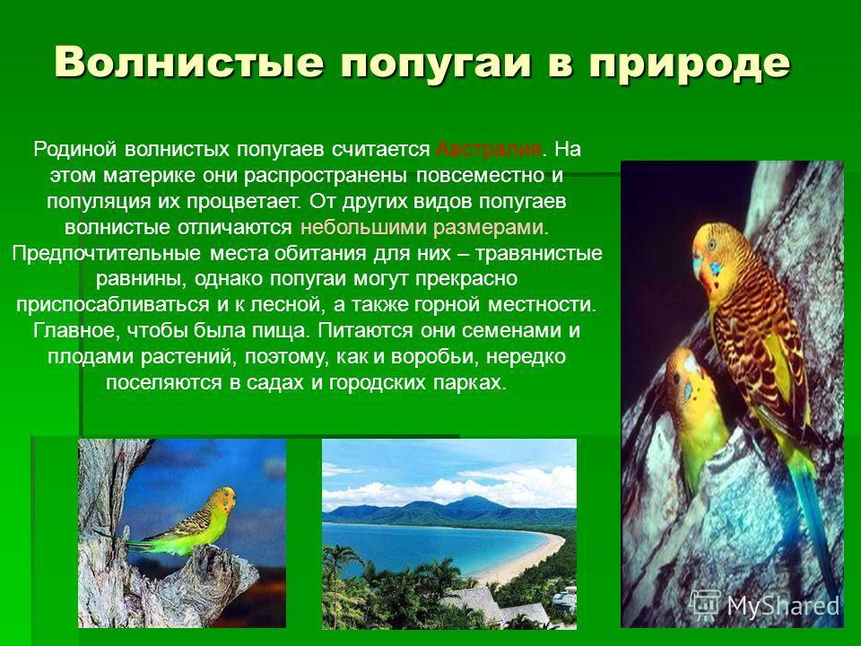 Волнистые попугаи в природе Родиной волнистых попугаев считается Австралия. На этом материке они распространены повсеместно и популяция их процветает. От других видов попугаев волнистые отличаются небольшими размерами. Предпочтительные места обитания