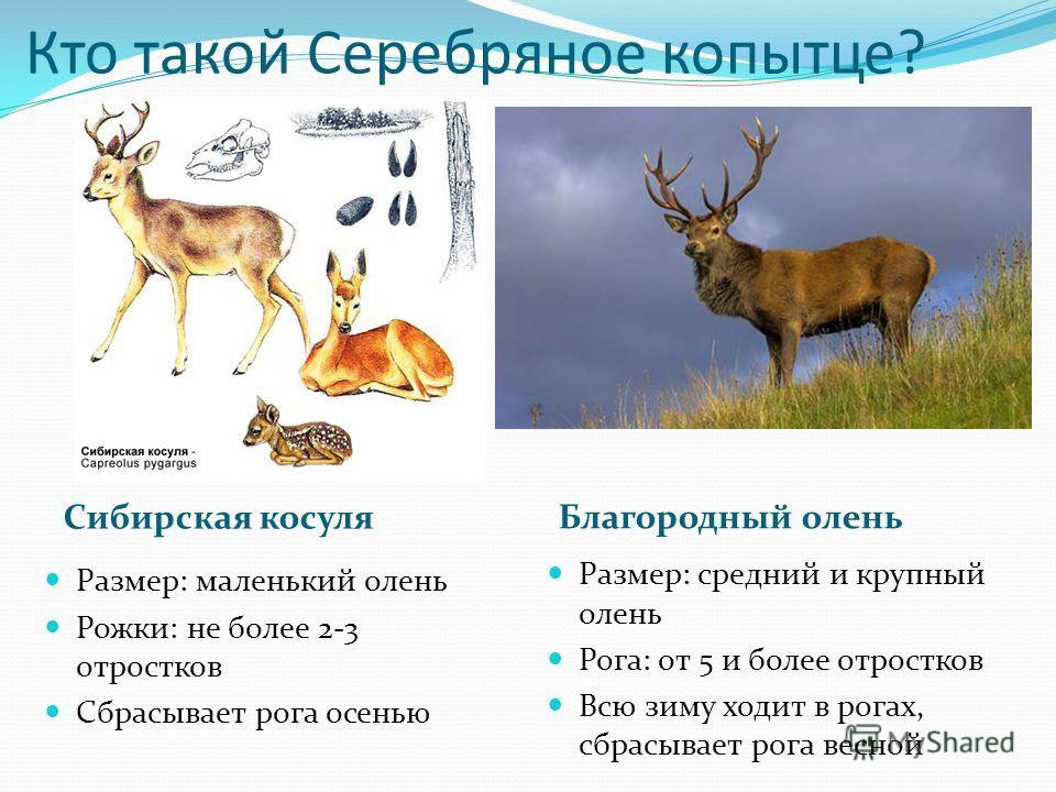 Кто такой Серебряное копытце? Размер: маленький олень Рожки: не более 2-3 отростков Сбрасывает рога осенью Размер: средний и крупный олень Рога: от 5 и более отростков Всю зиму ходит в рогах, сбрасывает рога весной Сибирская косуля Благородный олень