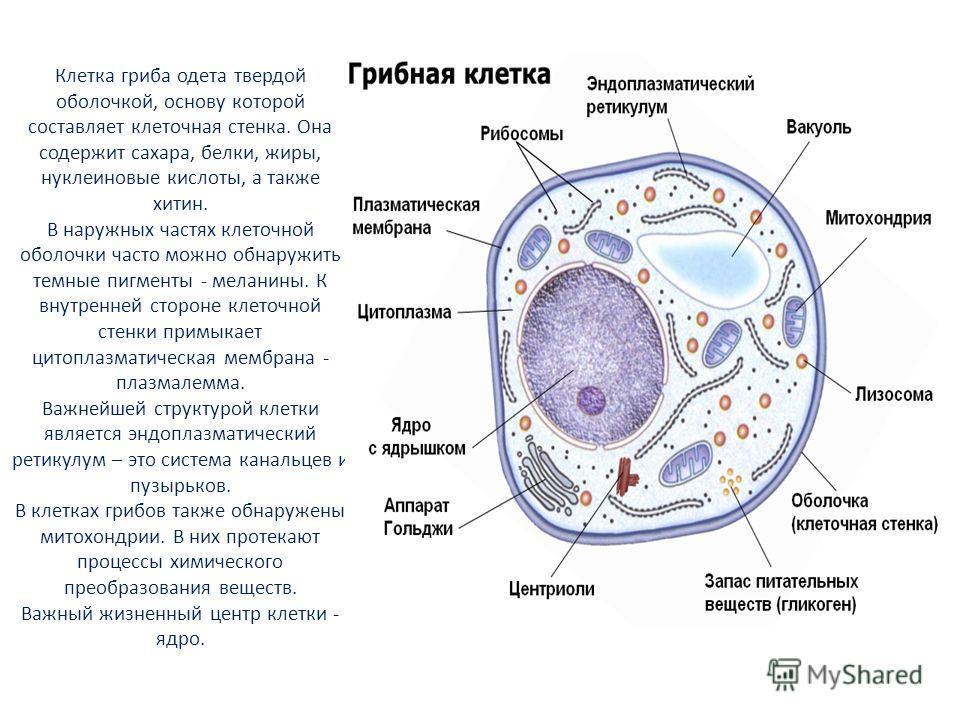 Клетка гриба одета твердой оболочкой, основу которой составляет клеточная стенка. Она содержит сахара, белки, жиры, нуклеиновые кислоты, а также хитин. В наружных частях клеточной оболочки часто можно обнаружить темные пигменты - меланины. К внутренн
