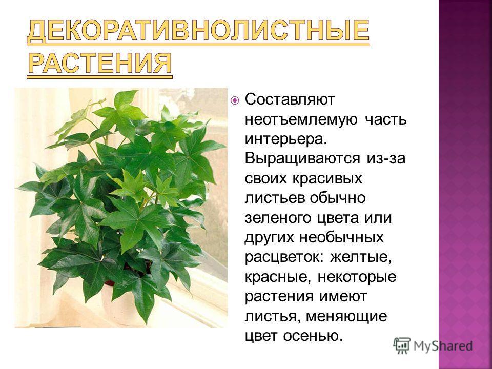 Составляют неотъемлемую часть интерьера. Выращиваются из-за своих красивых листьев обычно зеленого цвета или других необычных расцветок: желтые, красные, некоторые растения имеют листья, меняющие цвет осенью.