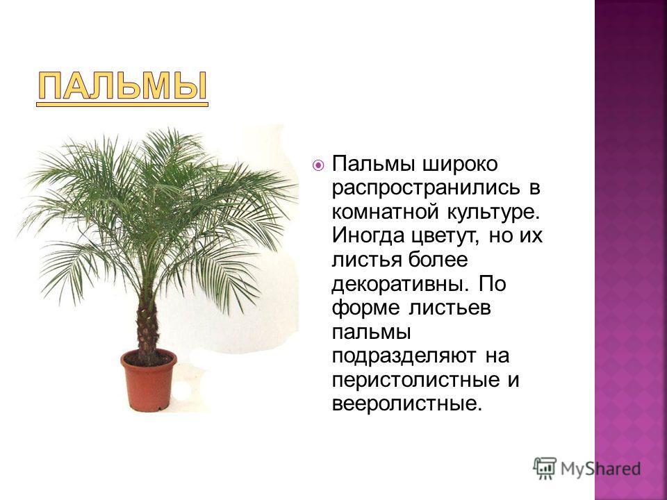 Пальмы широко распространились в комнатной культуре. Иногда цветут, но их листья более декоративны. По форме листьев пальмы подразделяют на перистолистные и вееролистные.