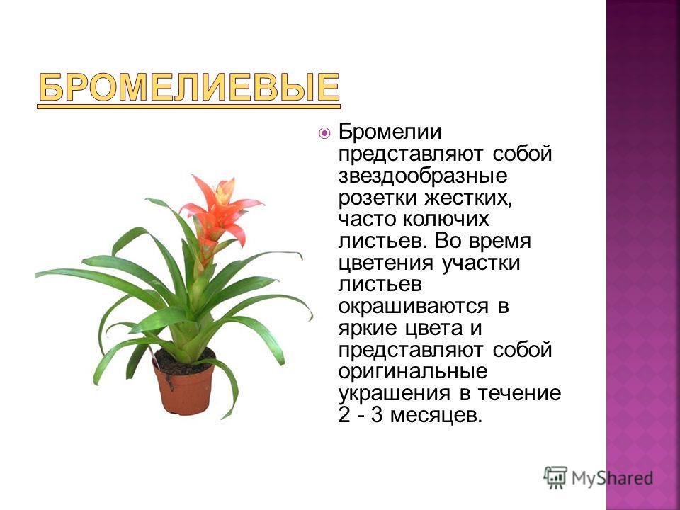 Бромелии представляют собой звездообразные розетки жестких, часто колючих листьев. Во время цветения участки листьев окрашиваются в яркие цвета и представляют собой оригинальные украшения в течение 2 - 3 месяцев.