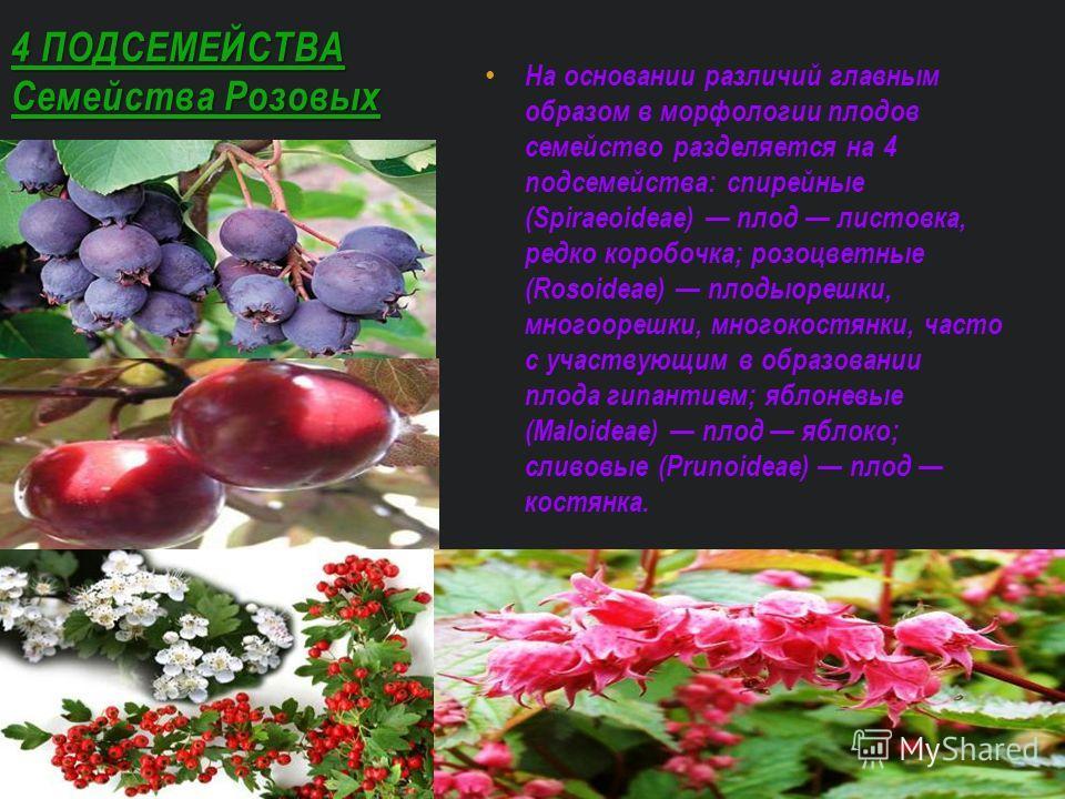 На основании различий главным образом в морфологии плодов семейство разделяется на 4 подсемейства: спирейные (Spiraeoideae) плод листовка, редко коробочка; розоцветные (Rosoideae) плодыорешки, многоорешки, многокостянки, часто с участвующим в образов