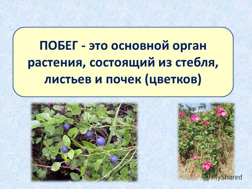 ПОБЕГ - это основной орган растения, состоящий из стебля, листьев и почек (цветков)