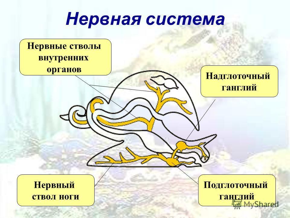 Нервная система Надглоточный ганглий Подглоточный ганглий Нервный ствол ноги Нервные стволы внутренних органов