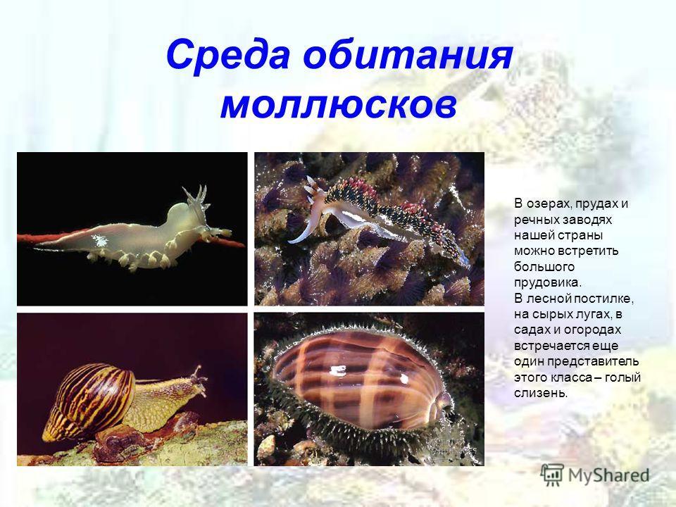 Среда обитания моллюсков В озерах, прудах и речных заводях нашей страны можно встретить большого прудовика. В лесной постилке, на сырых лугах, в садах и огородах встречается еще один представитель этого класса – голый слизень.