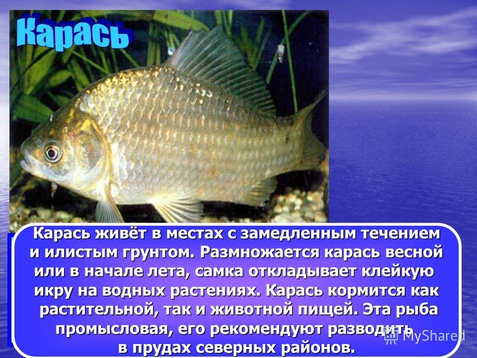 Карась – одна из самых известных рыб, которая водится в заболоченных, заросших водной растительностью водоёмах Алтайского края. Длина тела до 45см, а масса достигает 3кг. Тело высокое, сжатое с боков. Цвет спины тёмно-золотистый, бока темно-зелёные,