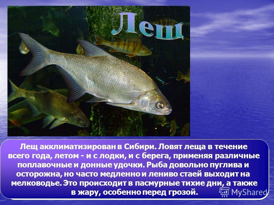Лещ - одна из самых распространенных и популярных в России рыб. Окраска тёмно-серебристая с золотым отливом, плавники серые. Длина до 50 см, масса до 6 кг (отдельные экземпляры достигали 70 см и массы 810 кг). Зимой держится стаями на глубоких местах