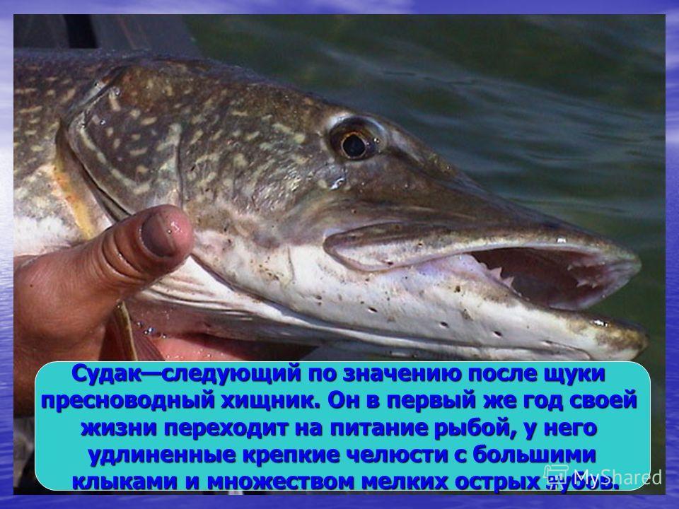 Судакследующий по значению после щуки пресноводный хищник. Он в первый же год своей жизни переходит на питание рыбой, у него удлиненные крепкие челюсти с большими клыками и множеством мелких острых зубов. клыками и множеством мелких острых зубов.