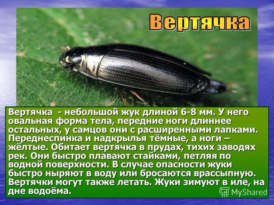 Вертячка - небольшой жук длиной 6-8 мм. У него овальная форма тела, передние ноги длиннее остальных, у самцов они с расширенными лапками. Переднеспинка и надкрылья тёмные, а ноги – жёлтые. Обитает вертячка в прудах, тихих заводях рек. Они быстро плав