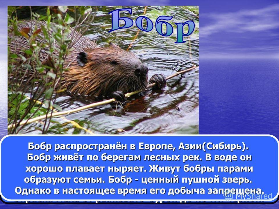 Бобр - один из крупных грызунов. Длина его тела до 100 см, масса 20-25 кг. Голова небольшая округлая. Глаза маленькие. Хвост несколько плоский. Окраска меха от рыжевато-бурой до почти чёрной. Бобр распространён в Европе, Азии(Сибирь). Бобр живёт по б
