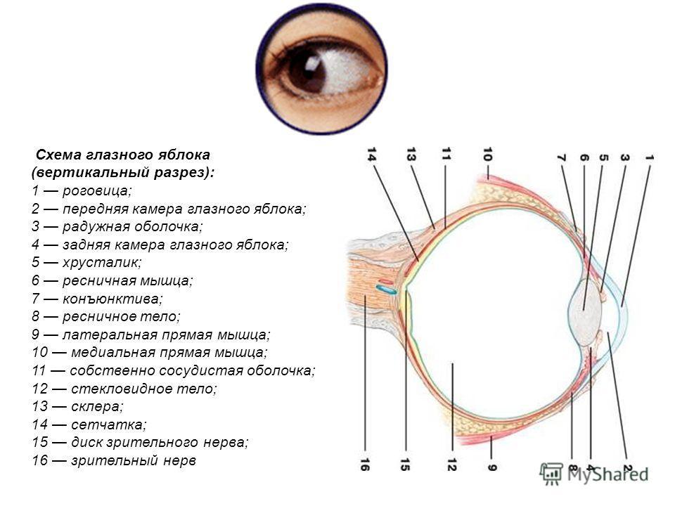 Схема глазного яблока (вертикальный разрез): 1 роговица; 2 передняя камера глазного яблока; 3 радужная оболочка; 4 задняя камера глазного яблока; 5 хрусталик; 6 ресничная мышца; 7 конъюнктива; 8 ресничное тело; 9 латеральная прямая мышца; 10 медиальн