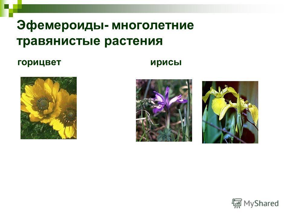 Эфемероиды- многолетние травянистые растения горицветирисы