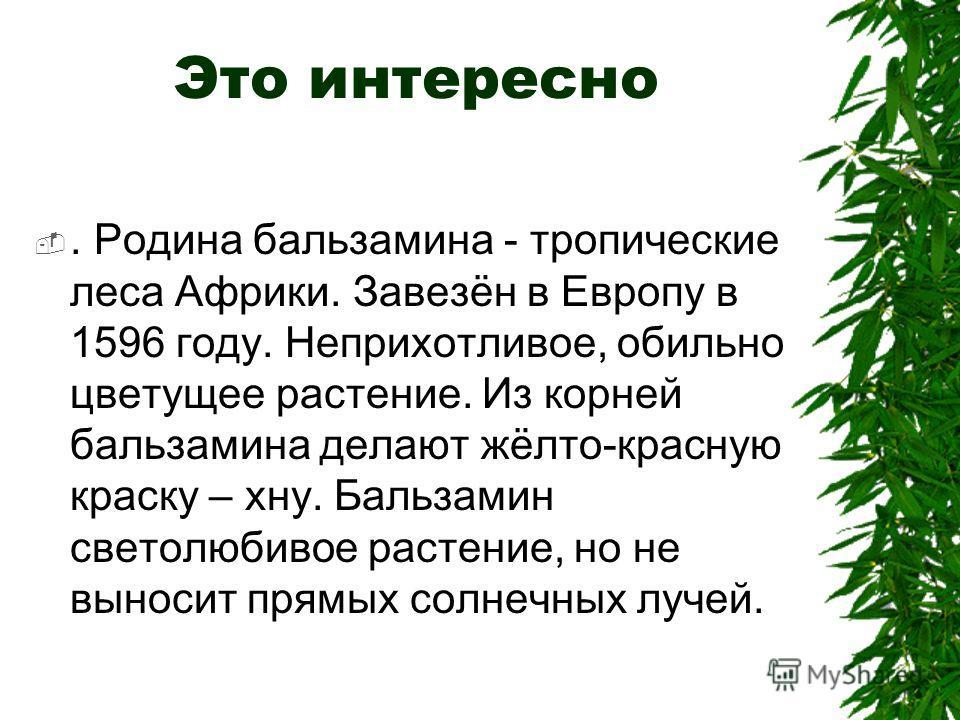 Это интересно. Родина бальзамина - тропические леса Африки. Завезён в Европу в 1596 году. Неприхотливое, обильно цветущее растение. Из корней бальзамина делают жёлто-красную краску – хну. Бальзамин светолюбивое растение, но не выносит прямых солнечны