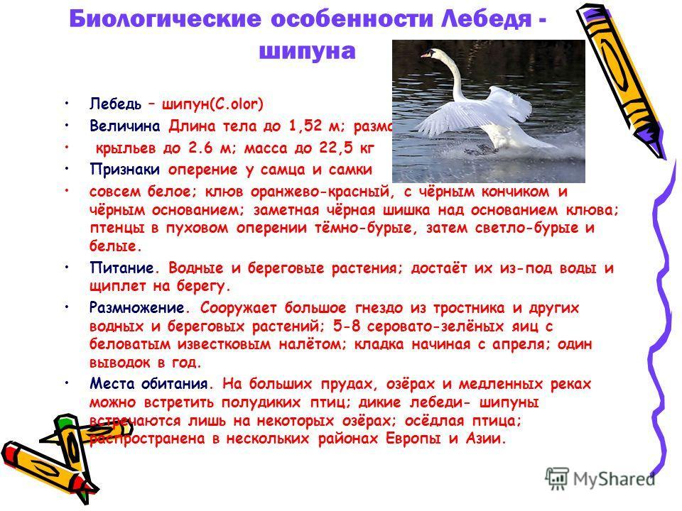 Биологические особенности Лебедя - шипуна Лебедь – шипун(C.olor) Величина Длина тела до 1,52 м; размах крыльев до 2.6 м; масса до 22,5 кг Признаки оперение у самца и самки совсем белое; клюв оранжево-красный, с чёрным кончиком и чёрным основанием; за