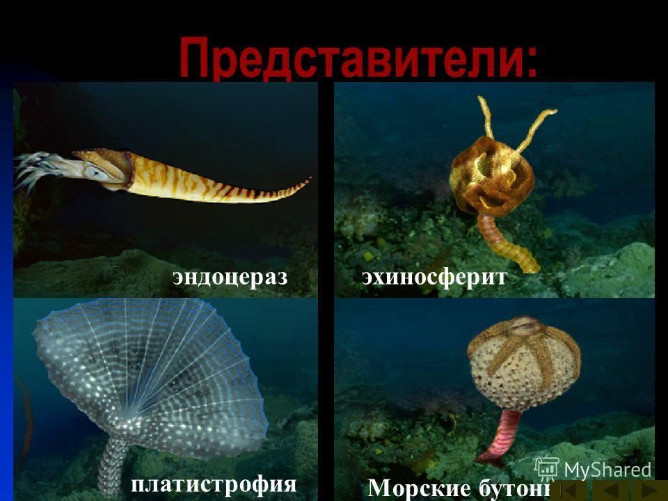 Представители: археокринусастраспис Брюхоногие моллюски гомилозои гониоцераз Морские бутоны платилихас платистрофия эндоцеразэхиносферит
