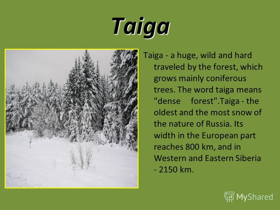 Taiga Taiga - a huge, wild and hard traveled by the forest, which grows mainly coniferous trees. The word taiga means
