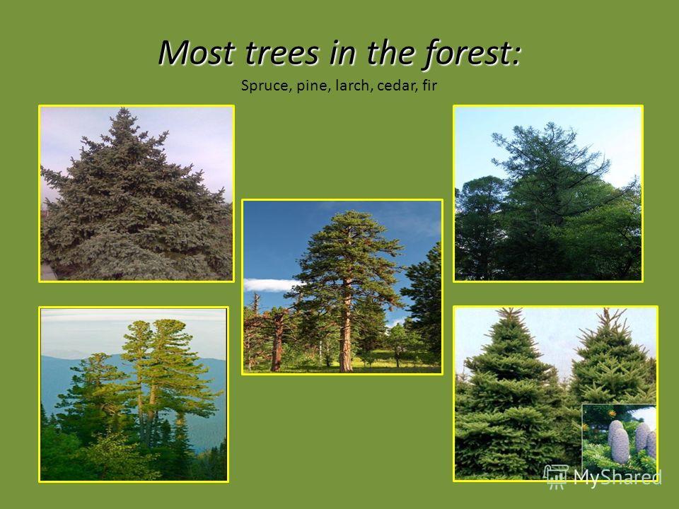 Most trees in the forest: Most trees in the forest: Spruce, pine, larch, cedar, fir