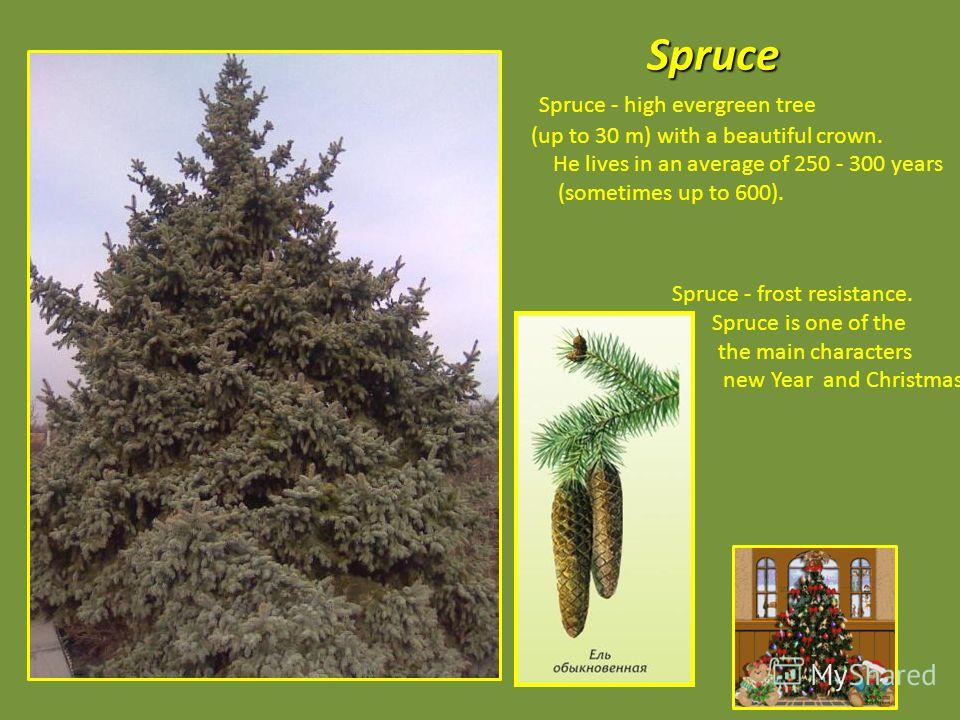 Spruce Spruce - high evergreen tree (up to 30 m) with a beautiful crown. He lives in an average of 250 - 300 years (sometimes up to 600). Spruce - frost resistance. Spruce is one of the the main characters new Year and Christmas.