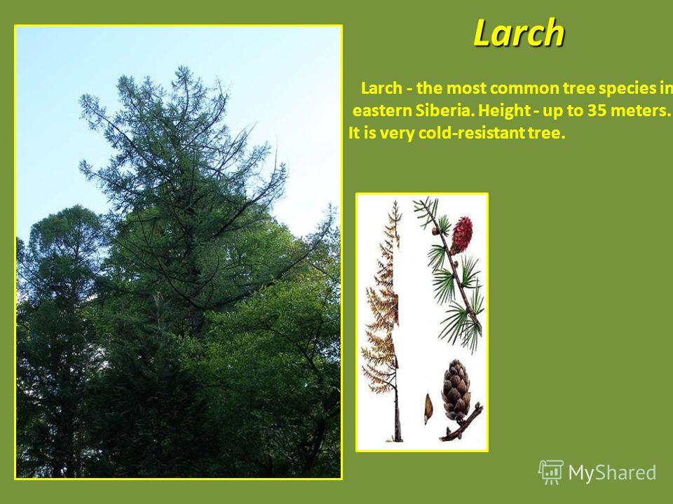 Larch - the most common tree species in eastern Siberia. Height - up to 35 meters. It is very cold-resistant tree.Larch