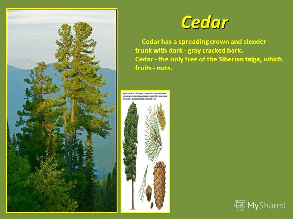 Cedar Cedar has a spreading crown and slender trunk with dark - gray cracked bark. Cedar - the only tree of the Siberian taiga, which fruits - nuts.