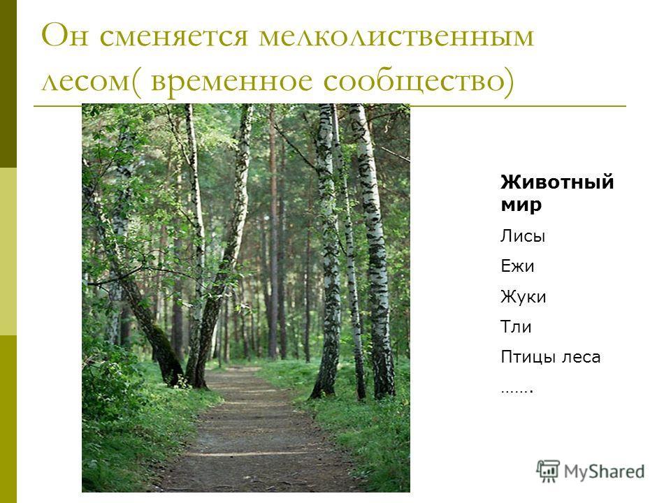 Он сменяется мелколиственным лесом( временное сообщество) Животный мир Лисы Ежи Жуки Тли Птицы леса …….