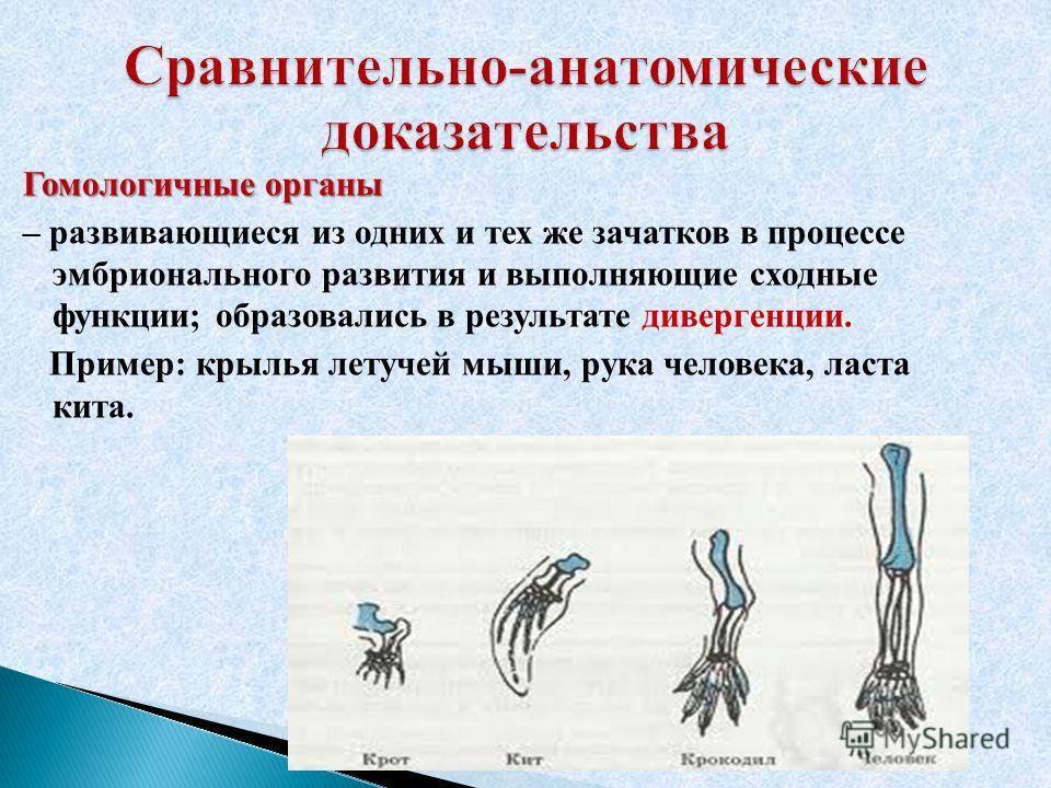 Гомологичные органы – развивающиеся из одних и тех же зачатков в процессе эмбрионального развития и выполняющие сходные функции; образовались в результате дивергенции. Пример: крылья летучей мыши, рука человека, ласта кита.