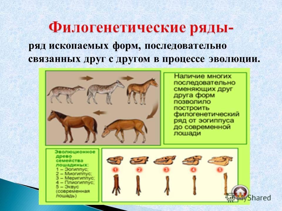 ряд ископаемых форм, последовательно связанных друг с другом в процессе эволюции.