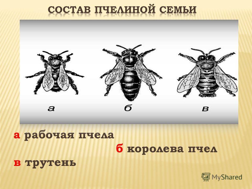 а рабочая пчела б королева пчел в трутень