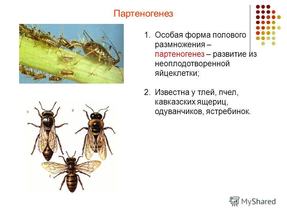 Партеногенез 1.Особая форма полового размножения – партеногенез – развитие из неоплодотворенной яйцеклетки; 2.Известна у тлей, пчел, кавказских ящериц, одуванчиков, ястребинок.