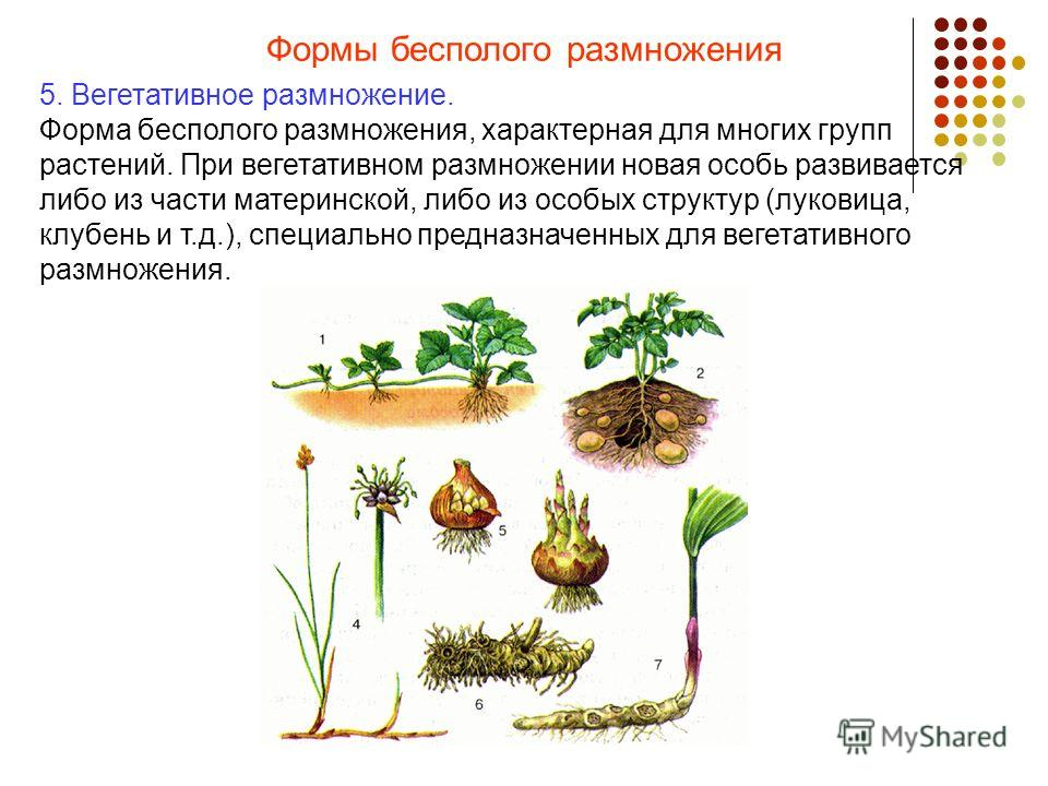 Формы бесполого размножения 5. Вегетативное размножение. Форма бесполого размножения, характерная для многих групп растений. При вегетативном размножении новая особь развивается либо из части материнской, либо из особых структур (луковица, клубень и