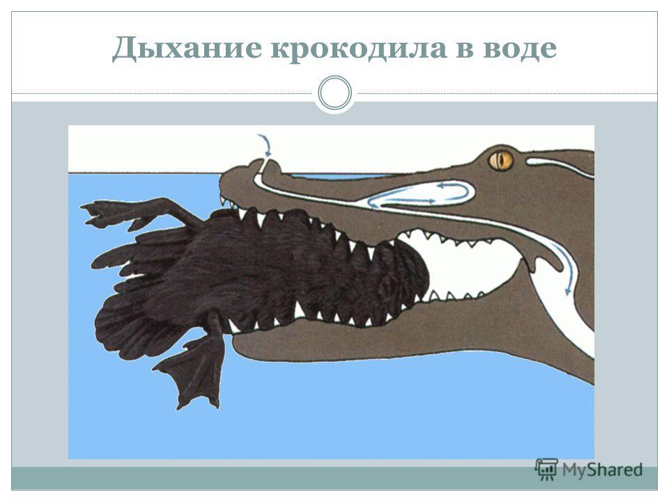 Дыхание крокодила в воде
