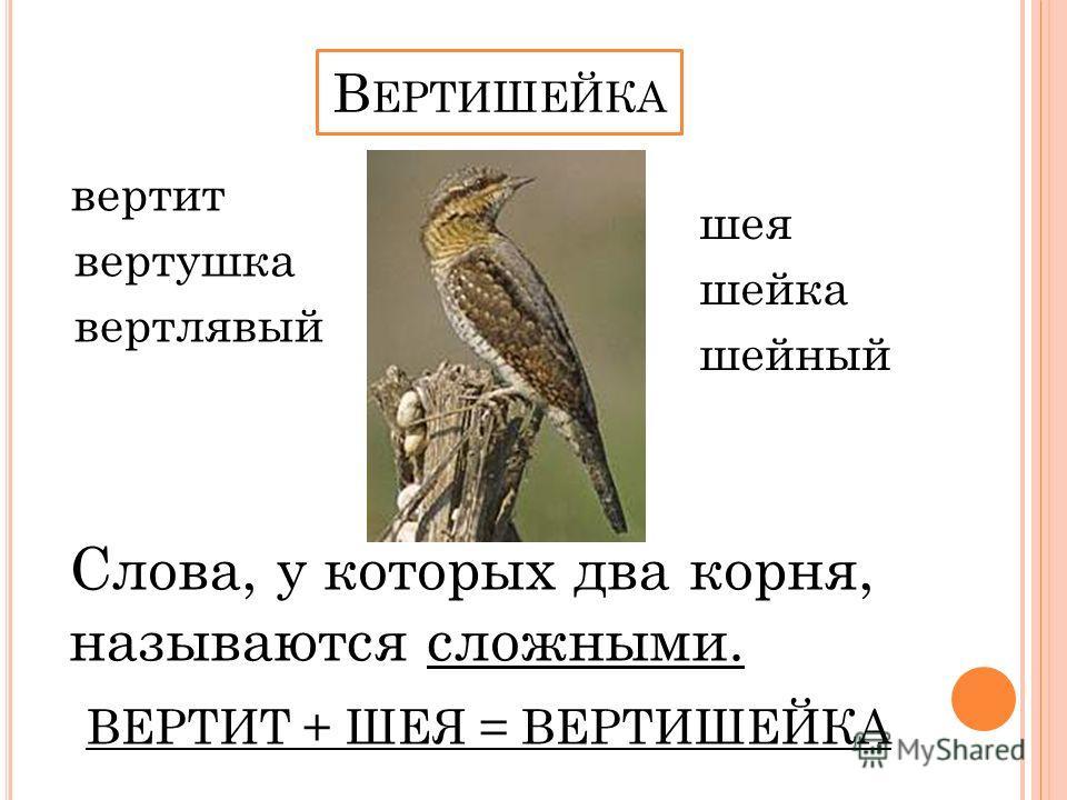 вертит вертушка вертлявый шея шейка шейный Слова, у которых два корня, называются сложными. ВЕРТИТ + ШЕЯ = ВЕРТИШЕЙКА В ЕРТИШЕЙКА