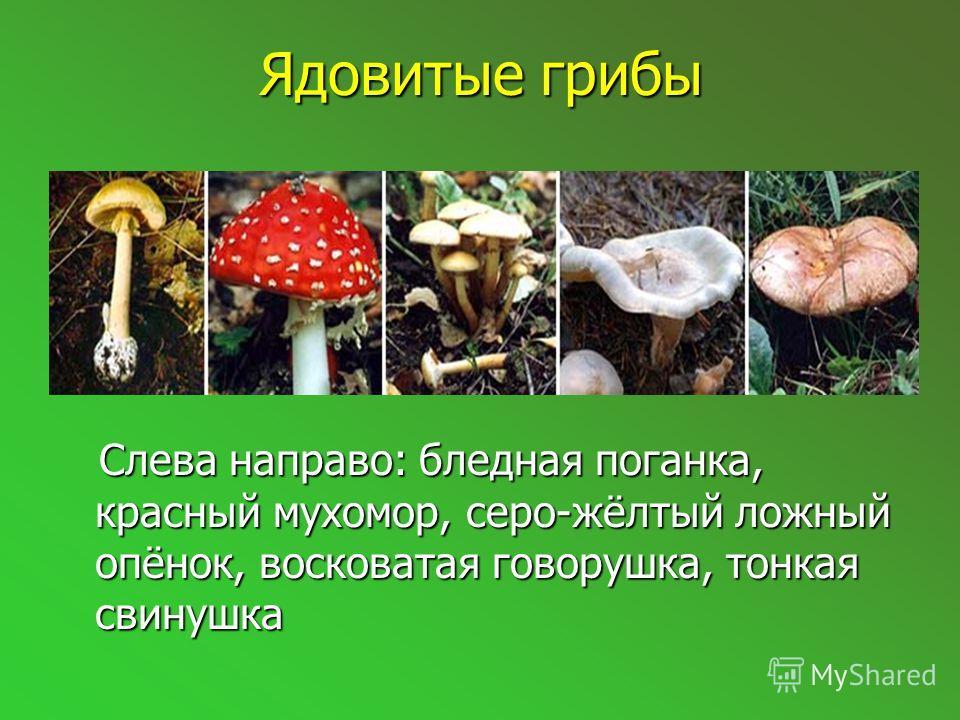 Съедобные грибы Слева направо: белый гриб, болотный подосиновик, белый навозник, осенний опенок, сыроежка Слева направо: белый гриб, болотный подосиновик, белый навозник, осенний опенок, сыроежка