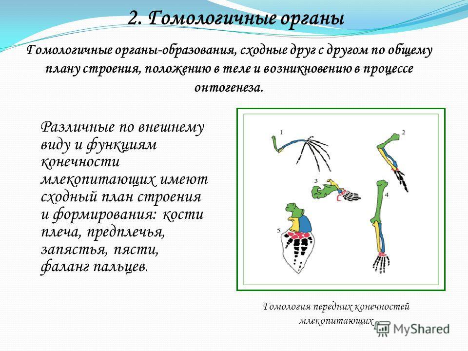 2. Гомологичные органы Гомологичные органы-образования, сходные друг с другом по общему плану строения, положению в теле и возникновению в процессе онтогенеза. Различные по внешнему виду и функциям конечности млекопитающих имеют сходный план строения