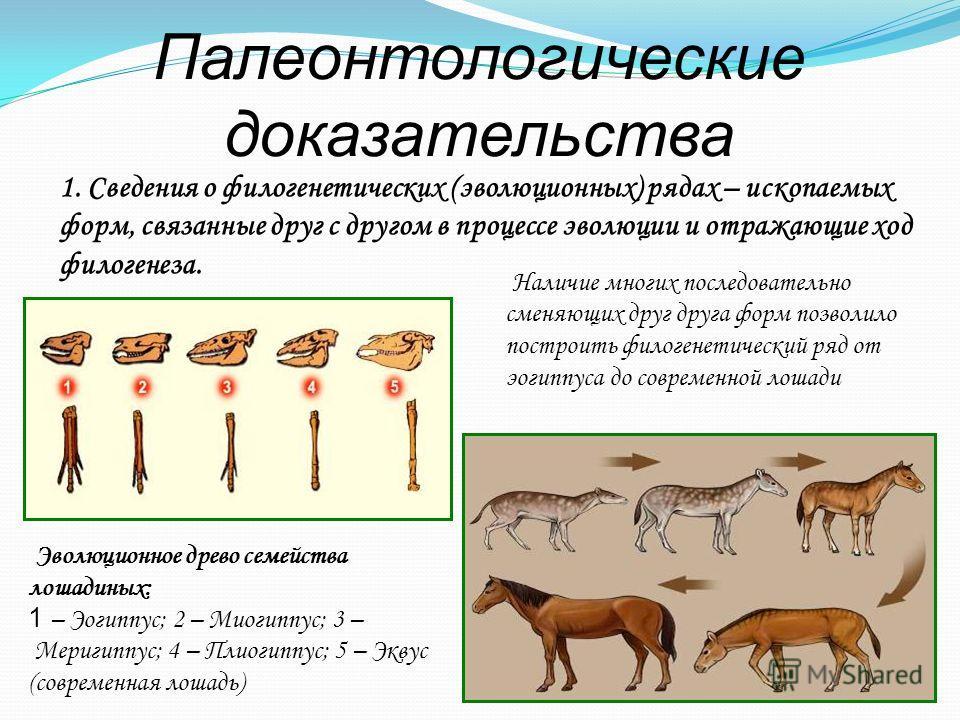 Палеонтологические доказательства 1. Сведения о филогенетических (эволюционных) рядах – ископаемых форм, связанные друг с другом в процессе эволюции и отражающие ход филогенеза. Эволюционное древо семейства лошадиных: 1 – Эогиппус; 2 – Миогиппус; 3 –