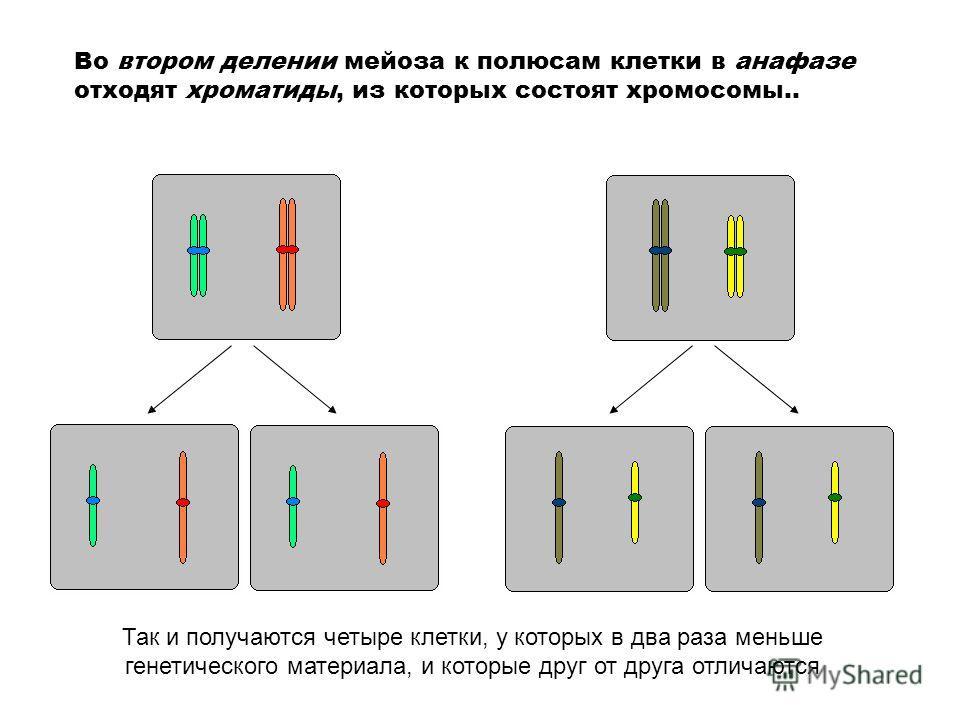 Во втором делении мейоза к полюсам клетки в анафазе отходят хроматиды, из которых состоят хромосомы.. Так и получаются четыре клетки, у которых в два раза меньше генетического материала, и которые друг от друга отличаются