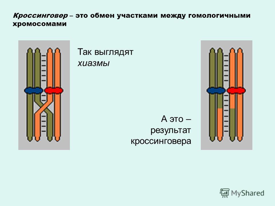 Кроссинговер – это обмен участками между гомологичными хромосомами Так выглядят хиазмы А это – результат кроссинговера
