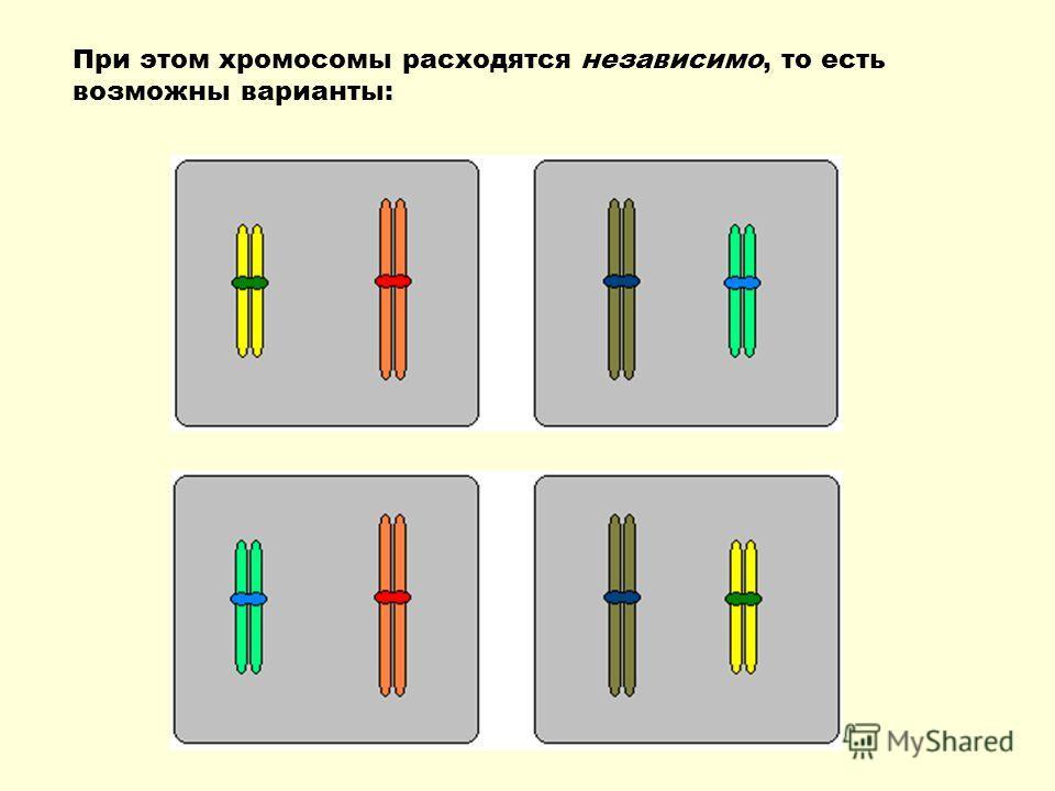 При этом хромосомы расходятся независимо, то есть возможны варианты: