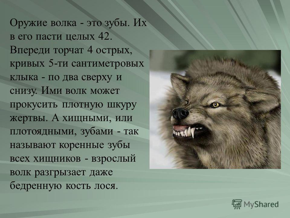 Оружие волка - это зубы. Их в его пасти целых 42. Впереди торчат 4 острых, кривых 5-ти сантиметровых клыка - по два сверху и снизу. Ими волк может прокусить плотную шкуру жертвы. А хищными, или плотоядными, зубами - так называют коренные зубы всех хи