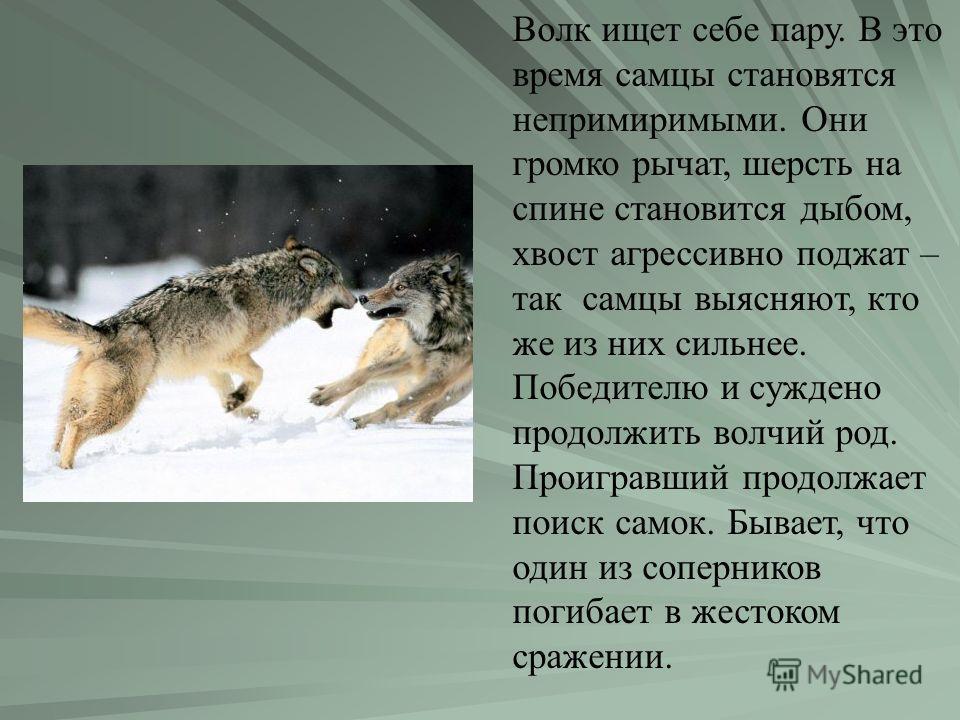 Волк ищет себе пару. В это время самцы становятся непримиримыми. Они громко рычат, шерсть на спине становится дыбом, хвост агрессивно поджат – так самцы выясняют, кто же из них сильнее. Победителю и суждено продолжить волчий род. Проигравший продолжа