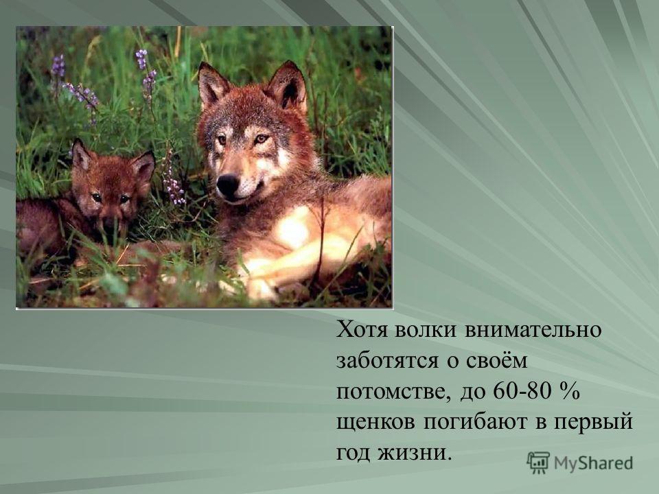 Хотя волки внимательно заботятся о своём потомстве, до 60-80 % щенков погибают в первый год жизни.