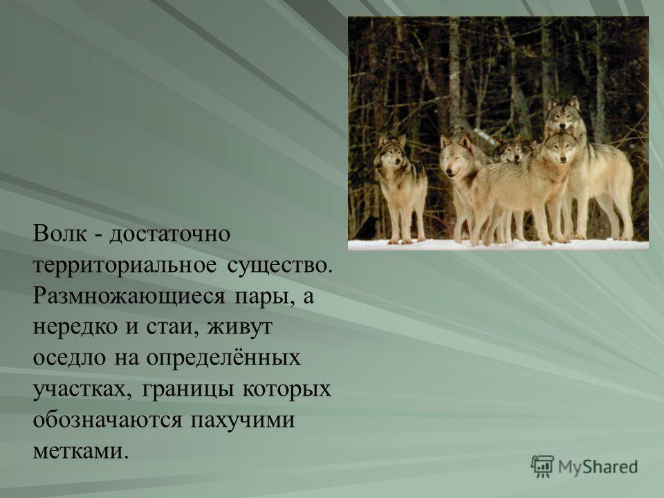Волк - достаточно территориальное существо. Размножающиеся пары, а нередко и стаи, живут оседло на определённых участках, границы которых обозначаются пахучими метками.
